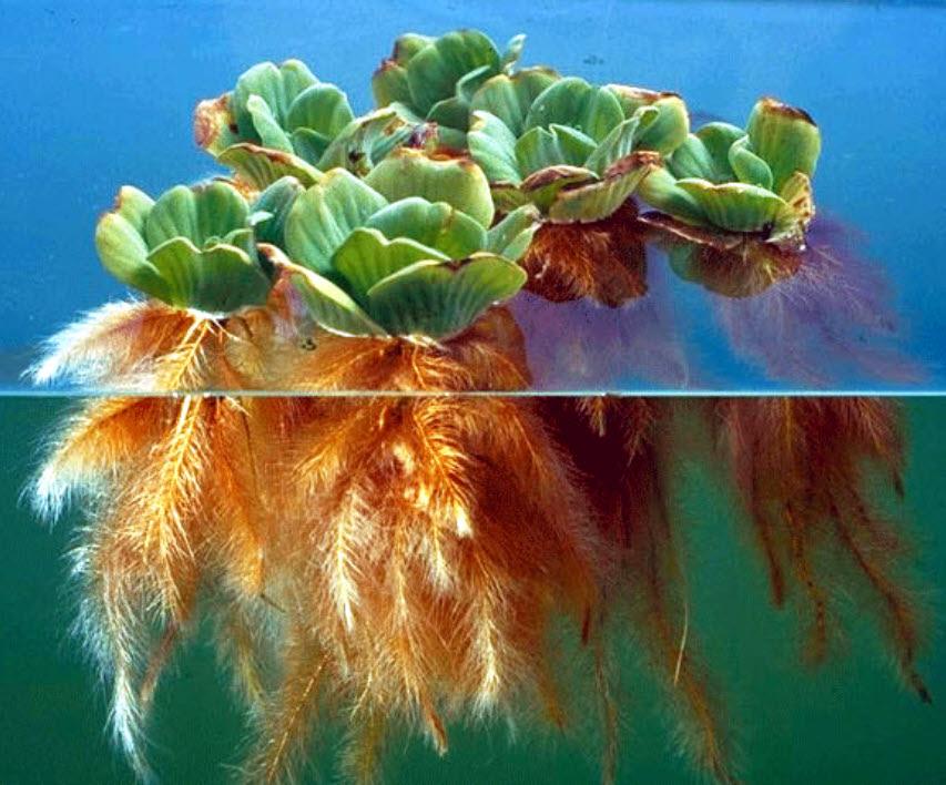 Floating Aquatic Plants Amp Oxygenators