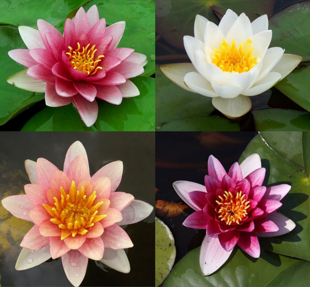 Hardy Water Lilies Hardfy Water Lily